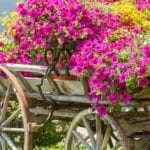 Summer Annuals Satisfaction | Hittle Landscaping