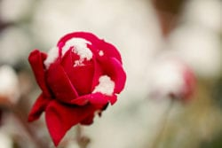 Winter-proofing your roses and other bushes | Hittle Landscaping