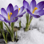Winter landscaping mistakes | purple flower in snow | Hittle Landscaping