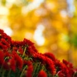 Red Mums in Fall | Landscape Design Tips for Fall Colors | Hittle Landscaping