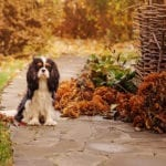 Dog on professionally hardscaped walkway with fall decorations | Hittle Landscaping