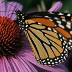 Monarch on Coneflower | Native Plants for Garden Design | Hittle Landscaping