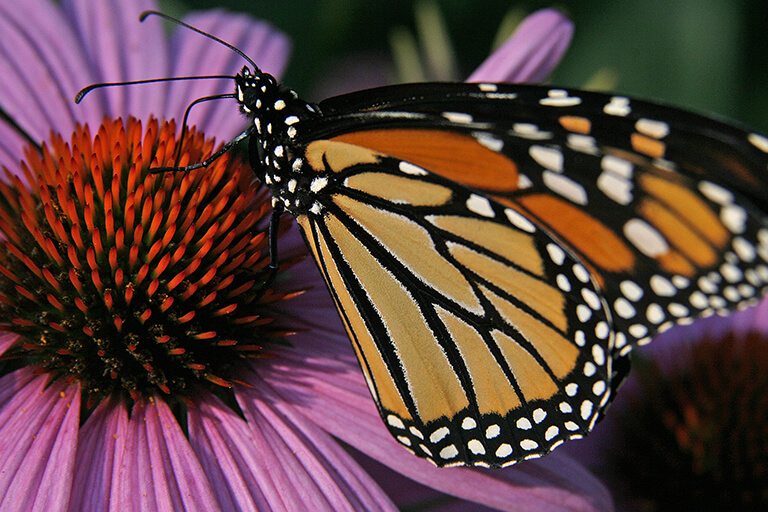 Monarch on Coneflower | Native Plants for Garden Design | Hittle Landscaping