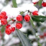 Holly in Snow | Plan for Winter Color in Your Indiana Backyard Garden | Hittle Landscaping