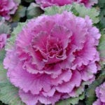 Flowering kale | November Landscape Garden Ideas | Hittle Landscaping