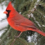 Male cardinal in evergreen | Best Backyard Designs for Winter Entertainment | Hittle Landscaping