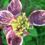 Winter plant with maroon leaves and green berries   Finding Curb Appeal Through Winter Landscape Ideas   Hittle Landscape