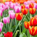 Field of pink, orange, and red tulips | Planning Commercial Landscape Services For Spring | Hittle Landscape