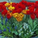 planter of tulips | Commercial Landscape Ideas for Spring in Indy | Hittle Landscaping