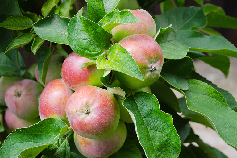 apple tree | Plant Fruit-bearing Plants and Shrubs in Indianapolis | Hittle Landscaping