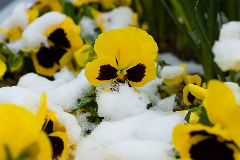 yellow pansies in snow | Front Yard Landscaping: What to Plant First this Spring | Hittle Landscaping