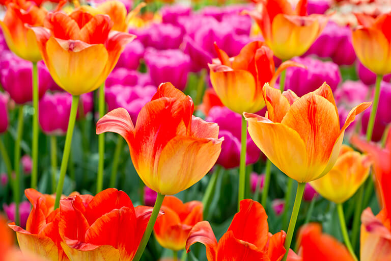 blooming tulips | What to Plant When Bulbs are Done in the Backyard Garden | Hittle Landscaping